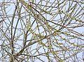Salix eriocarpa4.jpg