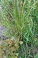 Salix matsudana SCA-03468.jpg