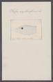 Salpa amphoraeformis - - Print - Iconographia Zoologica - Special Collections University of Amsterdam - UBAINV0274 092 08 0045.tif