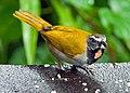 Saltator maximus -near Rancho Naturalista, Cordillera de Talamanca, Costa Rica-8.jpg