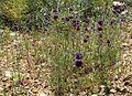Salvia columbariae 3.jpg