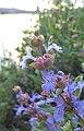 Salvia dorrii var. incana 1.jpg