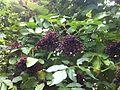 Sambucus nigra fruit 3.JPG