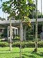 Sandoricum koetjape (Santol) tree in RDA, Bogra 02.jpg