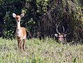 Sangai Brow-antlered Deer Rucervus eldii eldii Manipur by Dr. Raju Kasambe (1).jpg