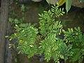Sapling Adenanthera pavonina P1140194 01.jpg