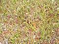 Sarracenia purpurea (5086364563).jpg