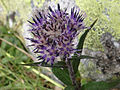 Saussurea alpina T77.3.jpg