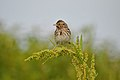 Savannah Sparrow (5974497555).jpg