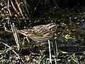 Savannah Sparrow at Lake Woodruff NWR - Flickr - Andrea Westmoreland.jpg
