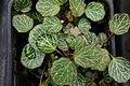 Saxifraga cuscutaeformis 1zz.jpg