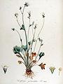 Saxifraga granulata — Flora Batava — Volume v14.jpg