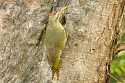 Scaly-bellied Woodpecker