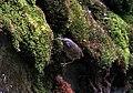 Scaly-breasted Wren Babbler I IMG 6868.jpg