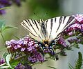 Scarce Swallowtail 02 (3689410113).jpg