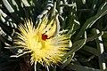 Scelophysa militaris (Scarabaeidae- Melolonthinae-Rutelinae- Hopliini) on Conicosia elongata (Aizoaceae) (36764466003).jpg