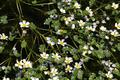 Schotten Hoher Vogelsberg Floesserteiche oberer Ranunculus aquatilis Islands det.png