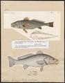 Sciaena aquila - 1700-1880 - Print - Iconographia Zoologica - Special Collections University of Amsterdam - UBA01 IZ13400037.tif