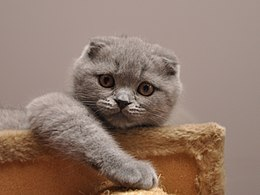 Scottish Fold lila.jpg
