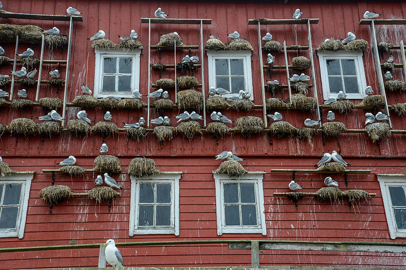 File:Seabirds home, Husøya.jpg