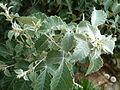 Searsia batophylla, loof, b, Walter Sisulu NBT.jpg