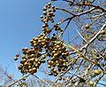 Searsia chirindensis, vrugte, Pretoria NBT, a.jpg