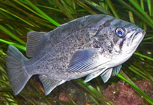 Fisheries management - Old fat female rockfish are the best producers