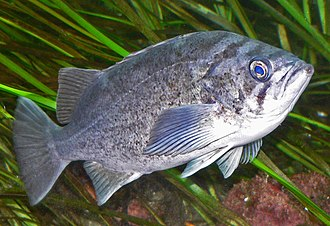 Fisheries management - Old, fat, female rockfish are the best producers.