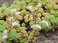 Sedum glaucophyllum3.jpg