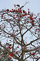 Semal (Bombax ceiba) flowering tree in Kolkata W IMG 4143.jpg