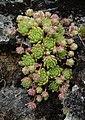 Sempervivum montanum.jpg