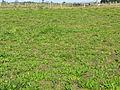 Senecio infested pasture1 (15956031520).jpg
