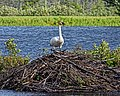 Seney National Wildlife Refuge - Wildlife (9702226883).jpg