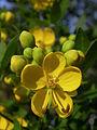Senna corymbosa flowers 2.jpg