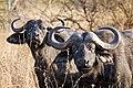 Serengeti Bueffel2.jpg