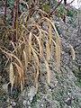 Setaria italica subsp. italica sl6.jpg