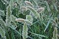 Setaria viridis 11.jpg