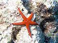 SharmThistegormStarfish.jpg