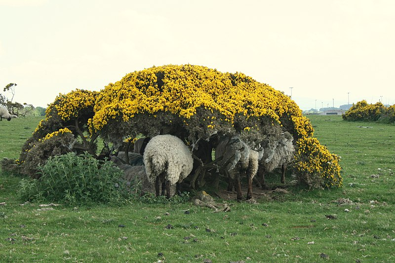 File:Sheep-under-Furze, County Kildare - geograph.org.uk - 1884538.jpg