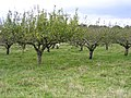 Sheep in the orchard, Clophill, Beds - geograph.org.uk - 64914.jpg