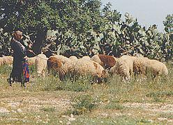 Shepherd girl floats sheep in Tunisia.jpg