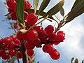 Shepherdia argentea (7934839016).jpg