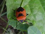 Shield bug (Pentatomidae genus) at Bhadrachalam 01.JPG