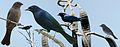 Shiny Cowbird From The Crossley ID Guide Eastern Birds.jpg