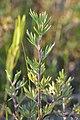 Shrubby Cinquefoil (Dasiphora fruticosa) - MacGregor Point Provincial Park 01.jpg
