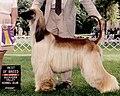 Shylo Tarot Life's A Dance (purebred Afghan hound, 1996).jpg
