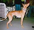 Sicilian Greyhound.jpg