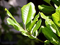 Sideroxylon mirmulano leaves.jpg