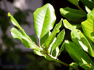 Sideroxylon - Leaves of Sideroxylon marmulano