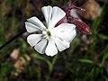 Silene alba FlowerCloseup 2009April26 SierraMadrona.jpg
